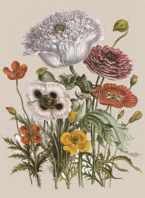 """""""Exotic Botanicals"""" - 'Papaver horridum, Papaver setigerum' (Poppies) 1841 by Jane Webb Loudon"""