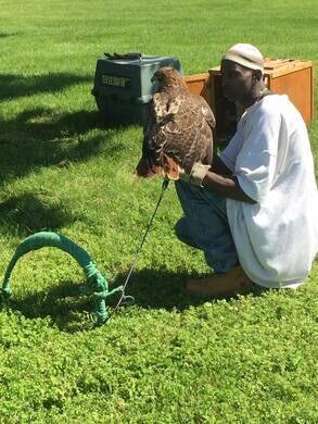 Rodney Stotts training his bird of prey