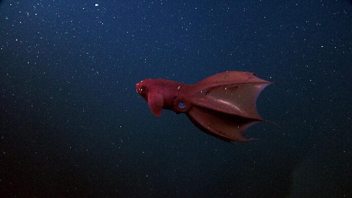 Vampire Squid.