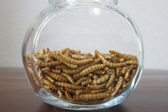Mealworm munchies.