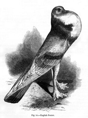 """Figure 18: """"English Pouter Pigeon"""" from Charles Darwin's book """"Variation of Animals and Plants Under Domestication"""" published in 1868."""