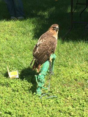 A raptor eyeing prey