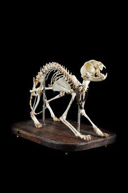 A finished cat skeleton.