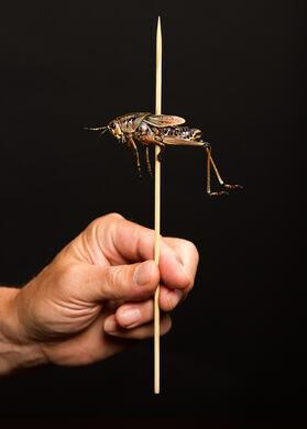 Skewered locust.