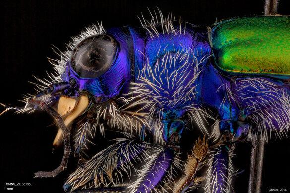 Tiger Beetle.
