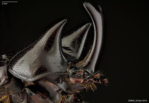 Rhino Beetle.