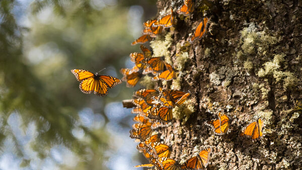 Mexico's Great Monarch Butterfly Migration - Atlas Obscura Trips