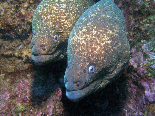 California Moray Eels.