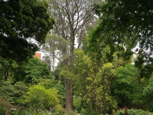 Torrey Pine in the garden.