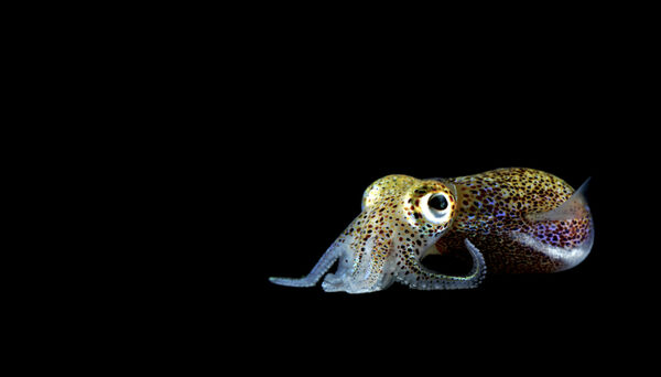 Science After Dark: Capturing Squid in the Tides of Oahu
