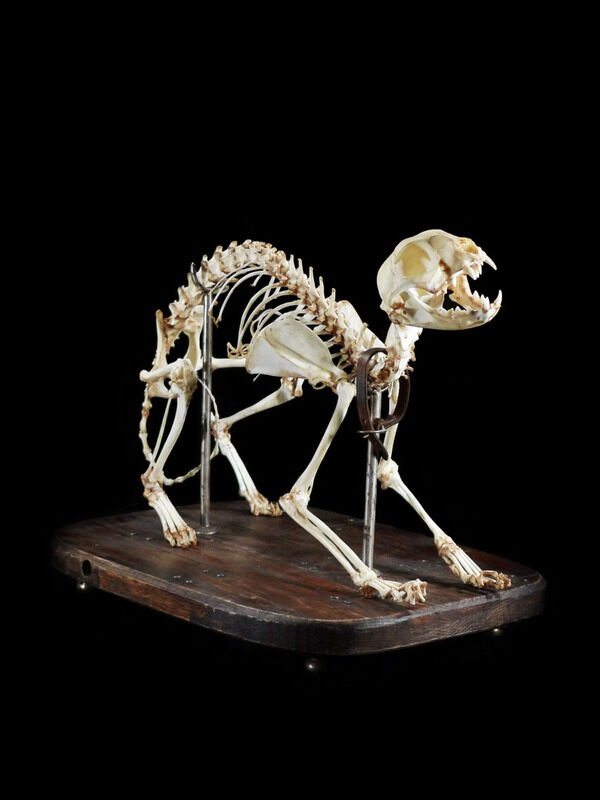 Articulated cat skeleton.