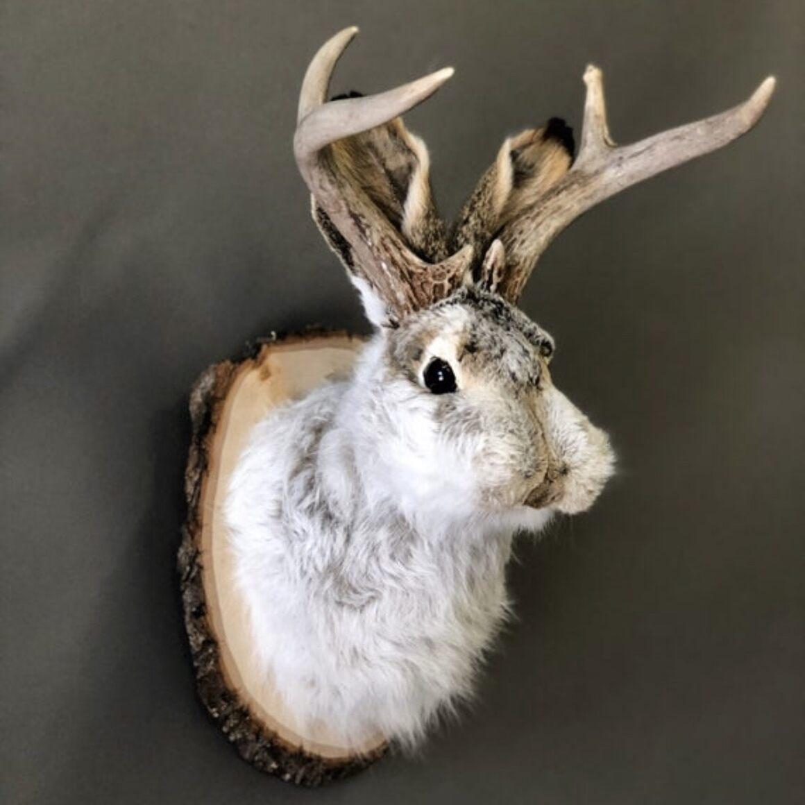 Jackalope shoulder mount taxidermy.