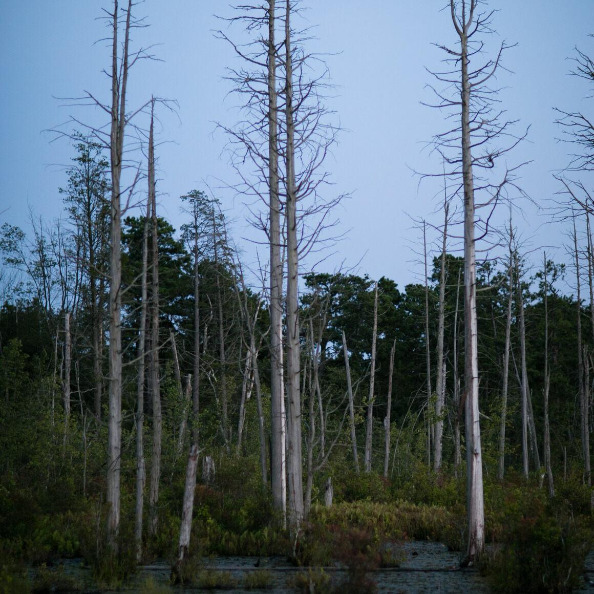 Cedar swamp.