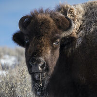 Profile image for Ornery Bison