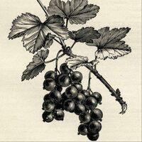 Profile image for redcurrantjuice