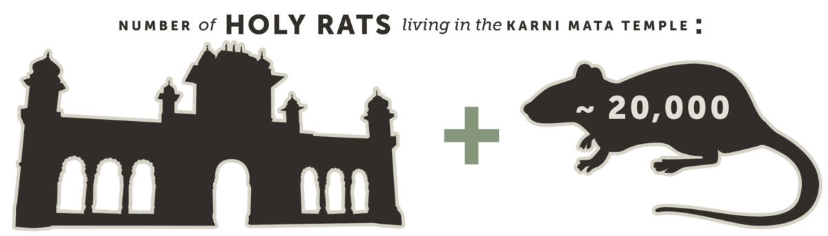 Number of Holy Rats Living in the Karni Mata Temple