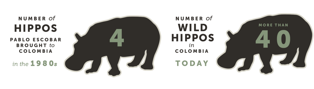 Number of Hippos Pablo Escobar Brought to Colombia in the 1980s, and How Many There Are Today