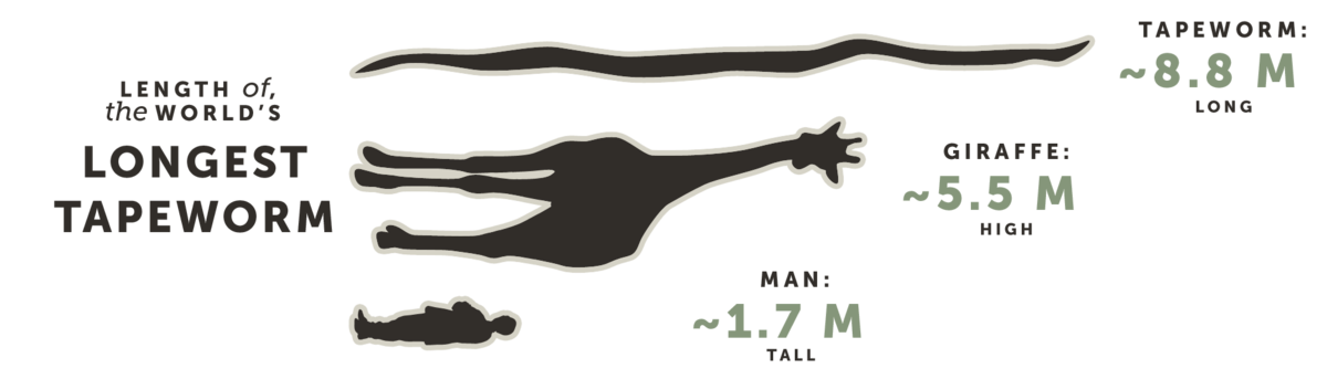 Length of the World's Longest Tapeworm