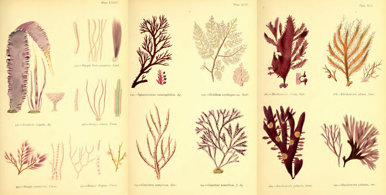 """Selected plates from Margaret Gatty's """"British Sea-Weeds."""""""