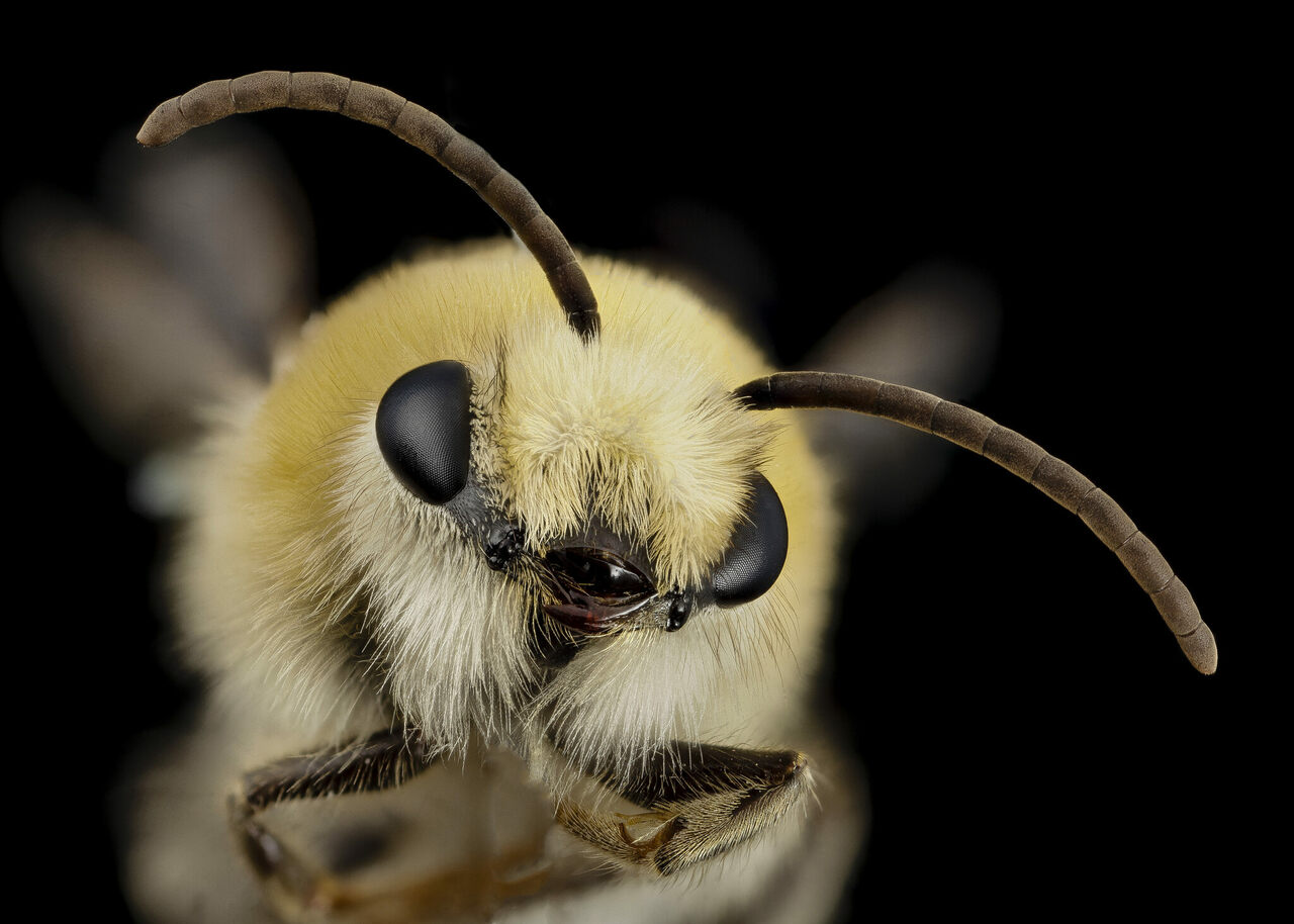 """Droege dubbed this unknown species, part of the <em>Mourecotelles</em> genus, """"Bee cute furry face."""""""