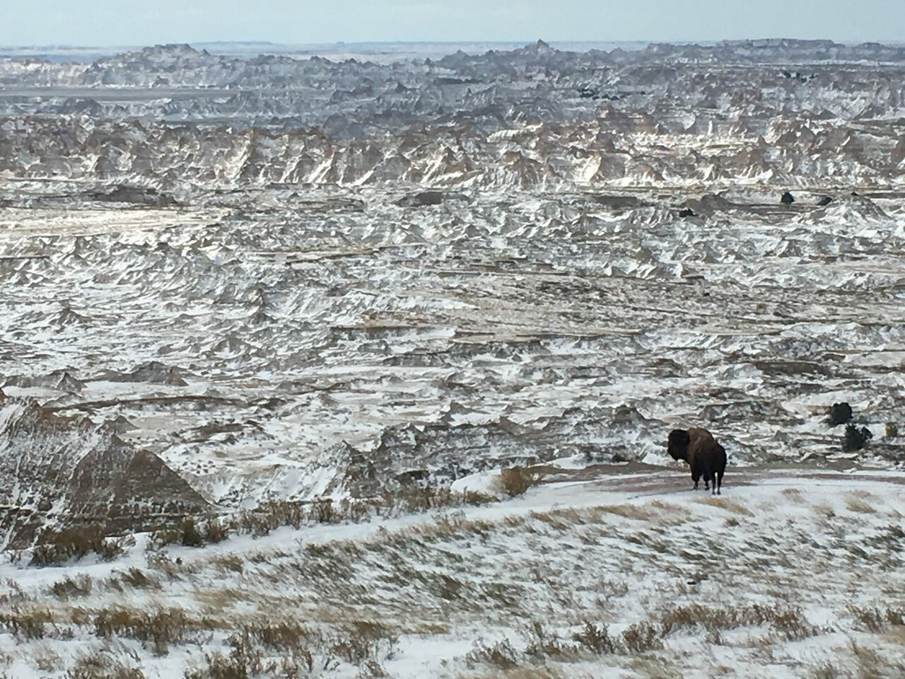 A lone bison bull overlooking the new tract of Badlands National Park where bison last roamed in 1877.
