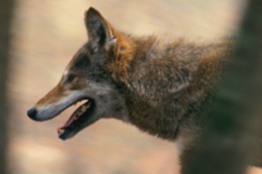 All existing red wolves have coyote/wolf hybrid genes.
