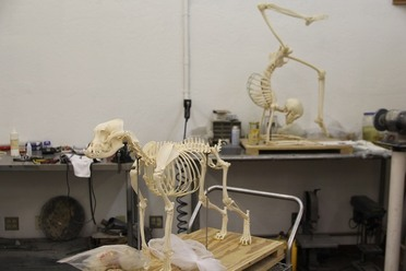 the lost and found art of assembling whale skeletons - atlas obscura, Skeleton
