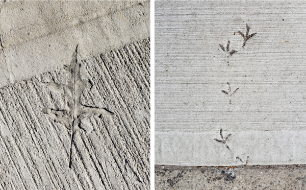Fresh Concrete Turns Paw Prints and Bird Tracks Into Urban Fossils