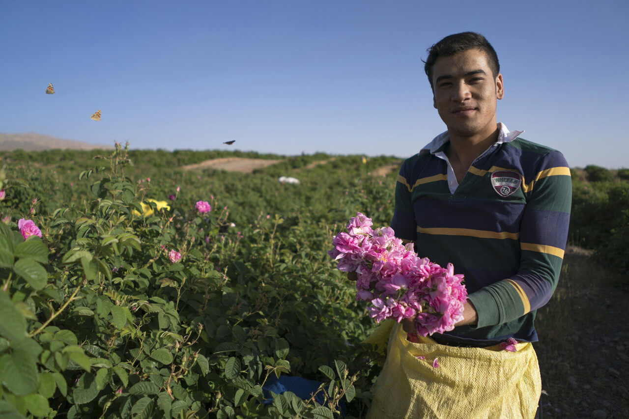 A worker picks roses as butterflies dance over the fields.