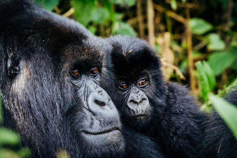 How to Name a Mountain Gorilla in Rwanda