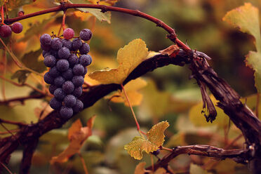 <em>Vitis vinifera vinifera</em>, the domesticated grape. A good idea is a good idea.