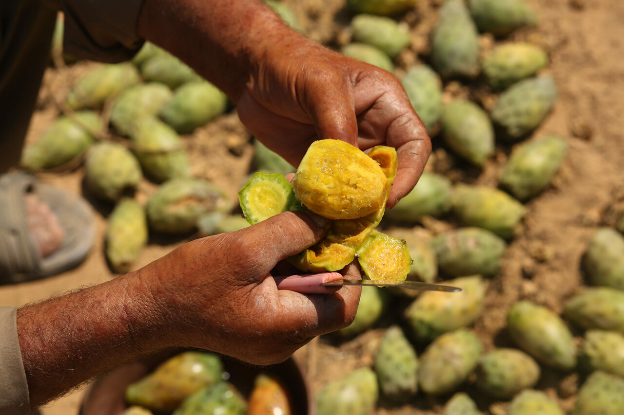 Palestinian farmers collect cactus fruit in the southern Gaza Strip in 2017.