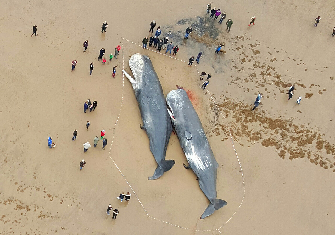 Two beached sperm whales near Skegness, on the east coast of England, 2016.