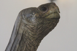An Emblem of Extinction, Lonesome George Goes on Posthumous Display in NYC