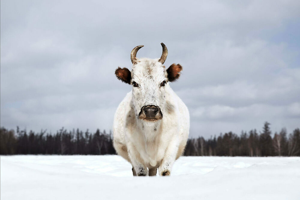 The Sakha Ynaga is perhaps the most metal cow in existence.