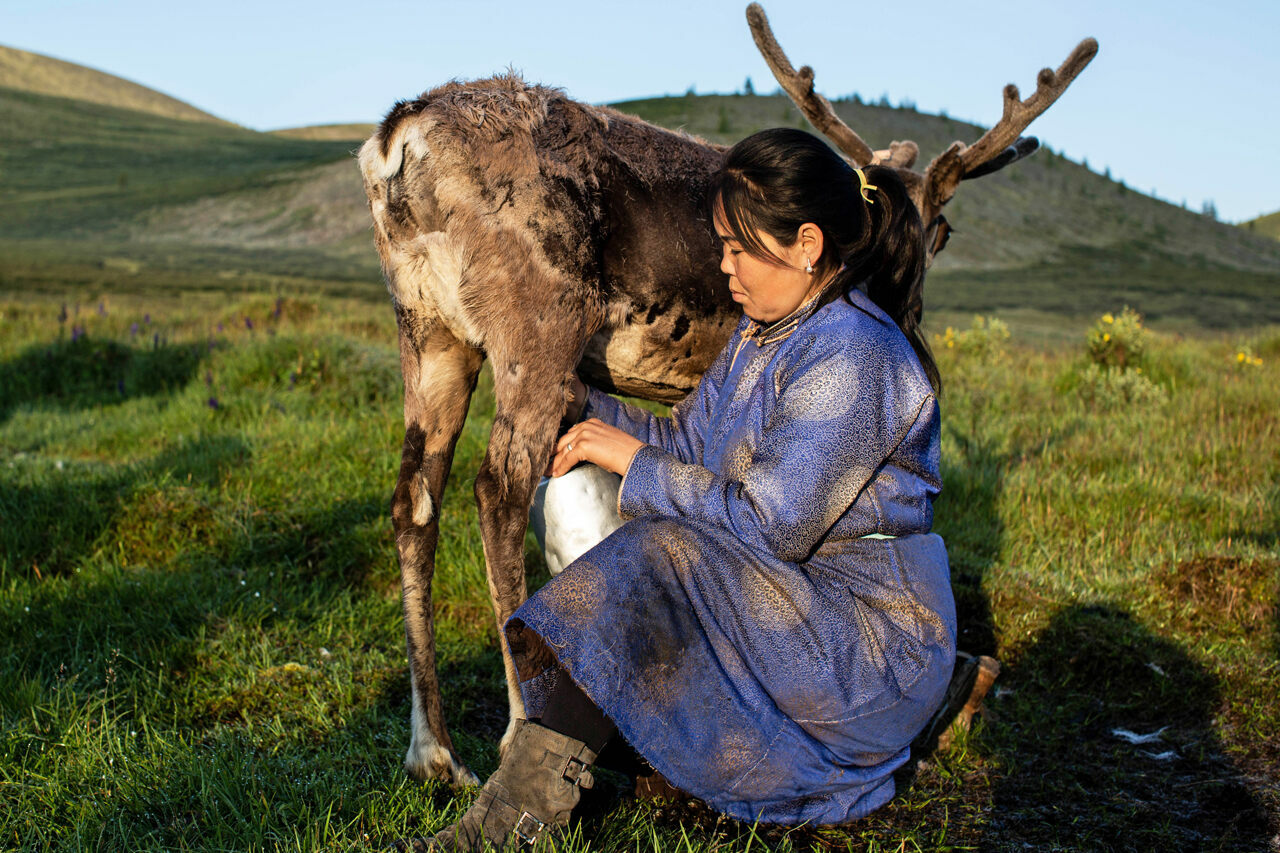 Otgontsetseg milking one of the reindeer in her herd.