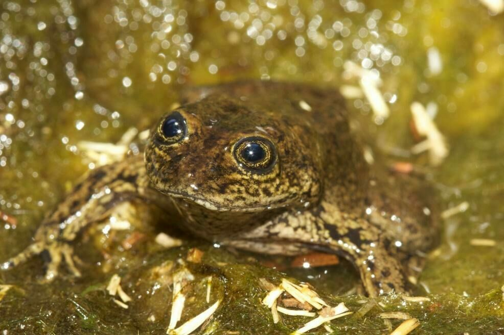 A Loa water frog in its stream.