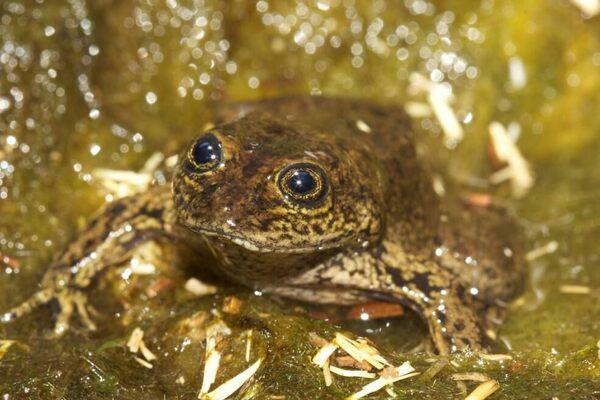 Saving the World's Last 14 Loa Water Frogs - Atlas Obscura