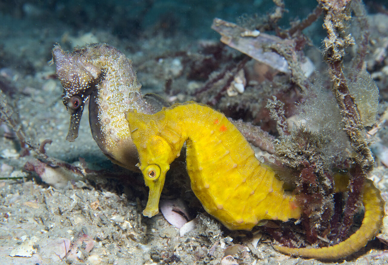 A mated pair of seahorses researchers have named Dusk and Dawn.