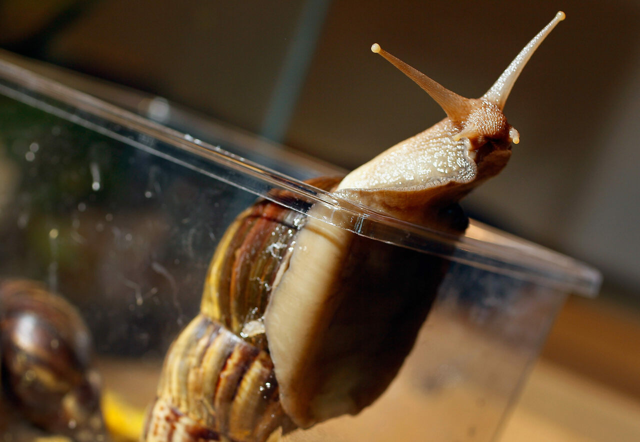 Giant African land snails are among the largest land snails in the world.