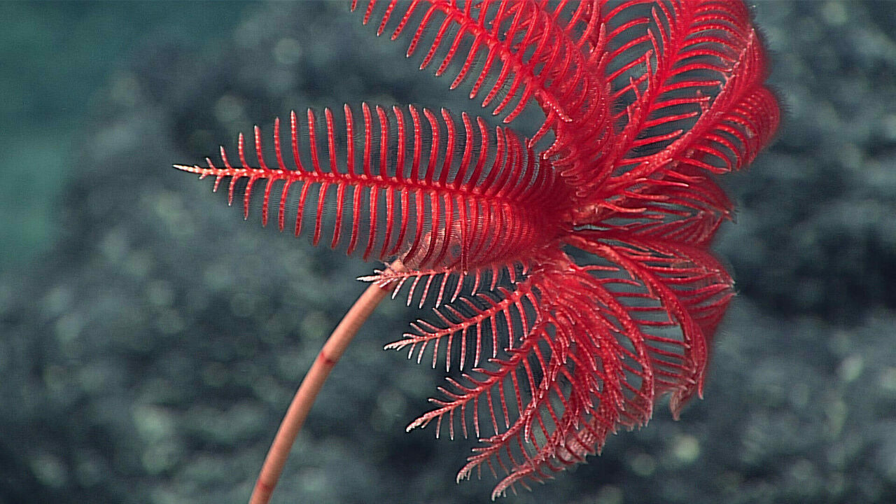 A sea lily, spotted off the Northwest Guam Seamount.