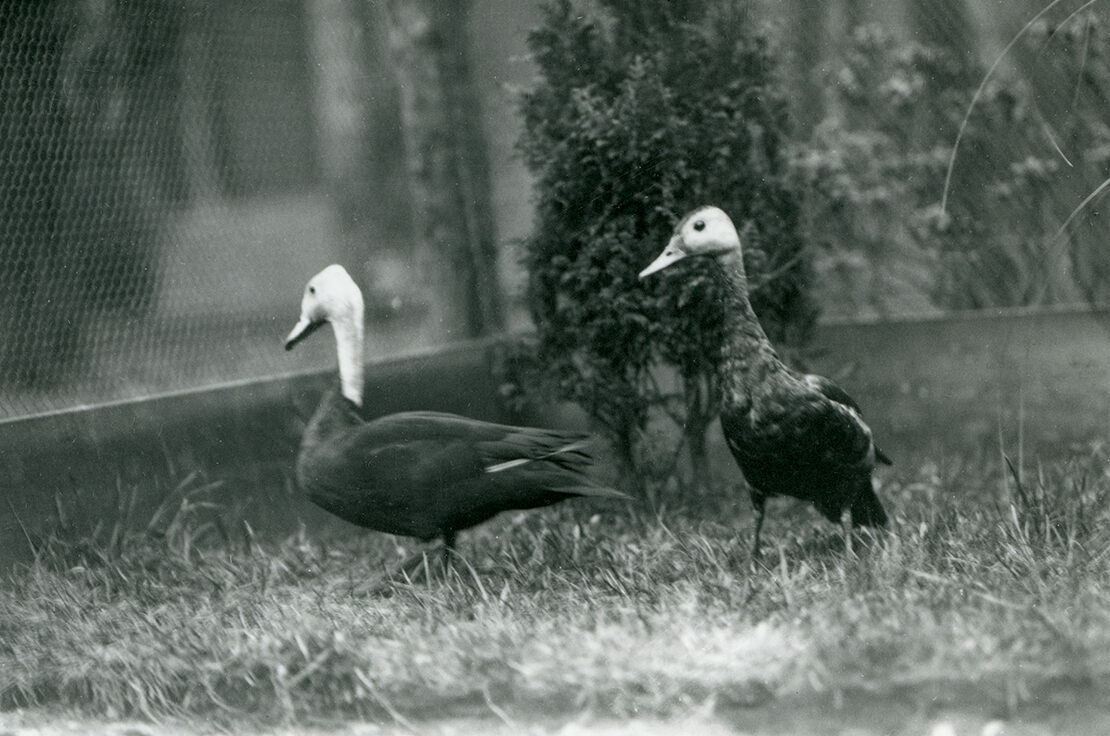 David Seth-Smith's 1926 shot of a pair of pink-headed ducks in captivity—one of the only known photographs of the species.