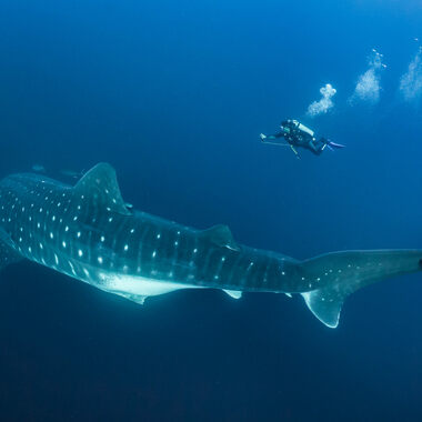 A whale shark shows off its distinct spot pattern as a scuba diver swims nearby.