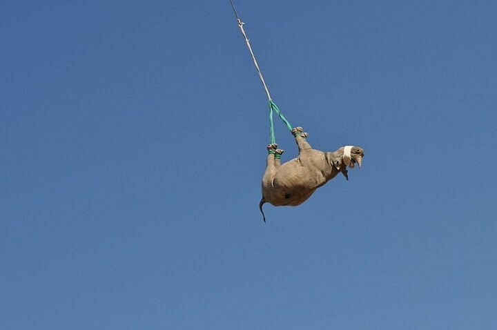 Researchers found that transporting the animal upside down was easier on the creature than moving it on its side.
