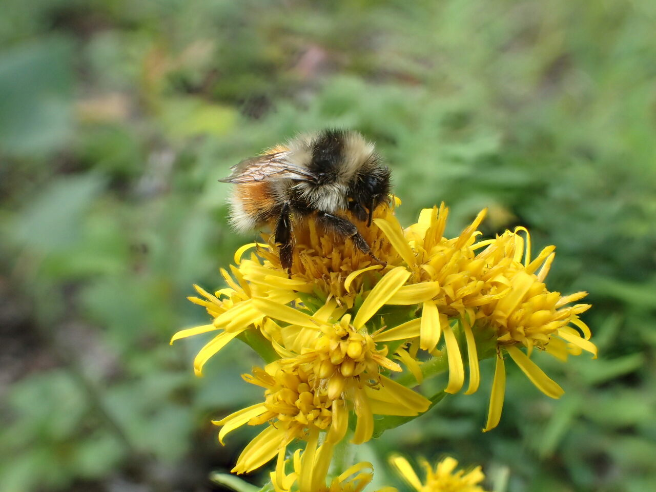 <em>B. sylvicola</em>, the forest bumblebee, is found in much of Canada and the far western reaches of the United States, including Alaska.