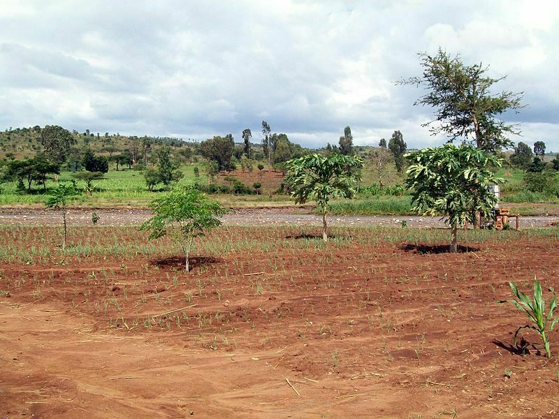 Newly planted trees dot an Ethiopian field.