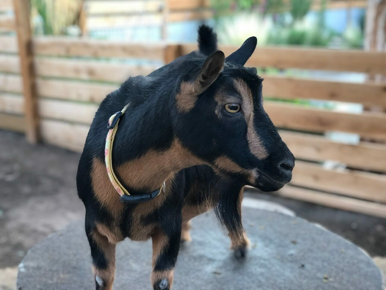 Lulu (pictured) and her fellow Nigerian Dwarf goats lived happily in a pen in Emily Sherer's backyard.