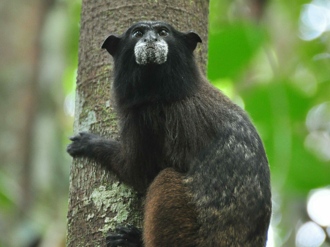 A black-fronted tamarin.