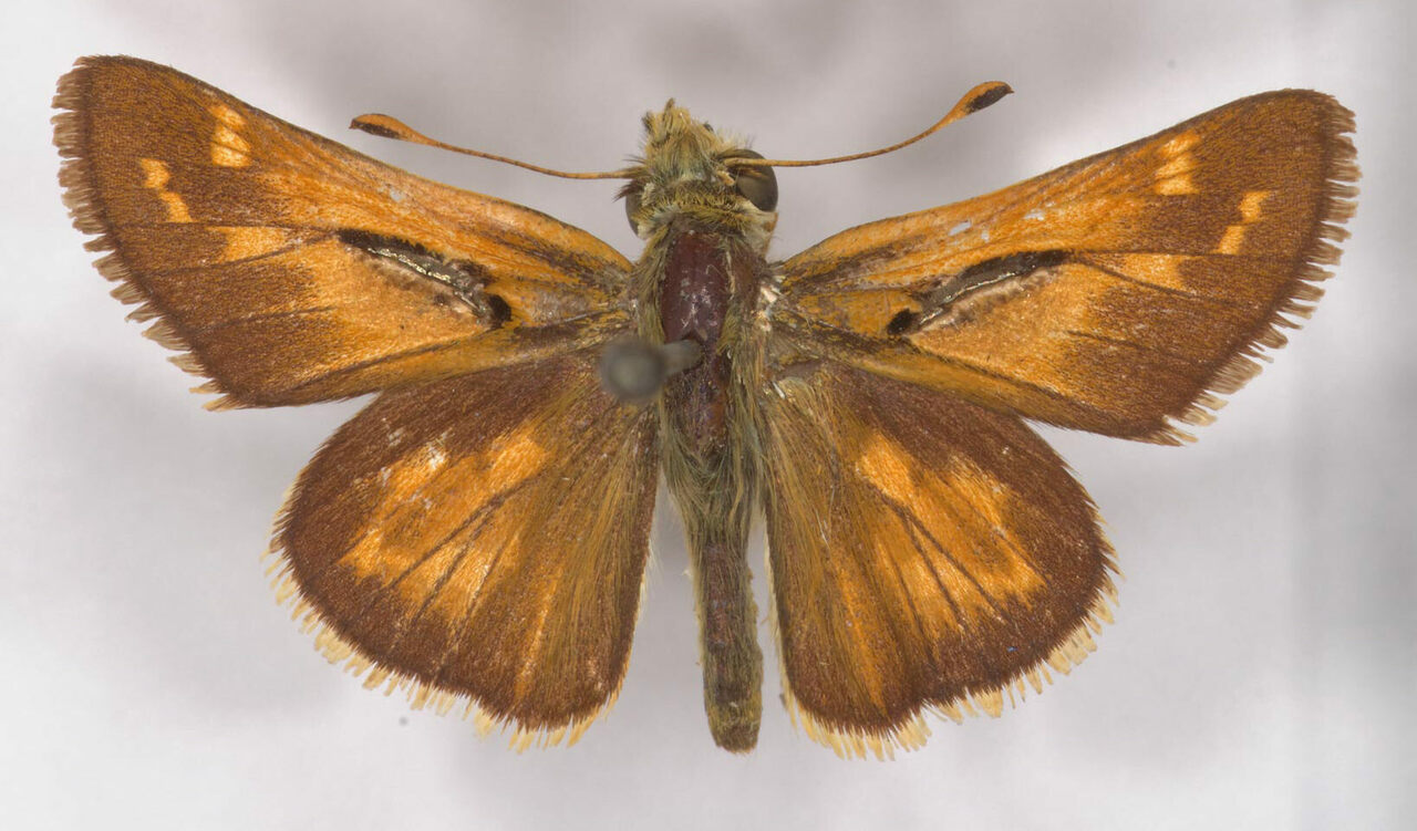 The dorsal side of Harvard's 150-year-old western branded skipper.
