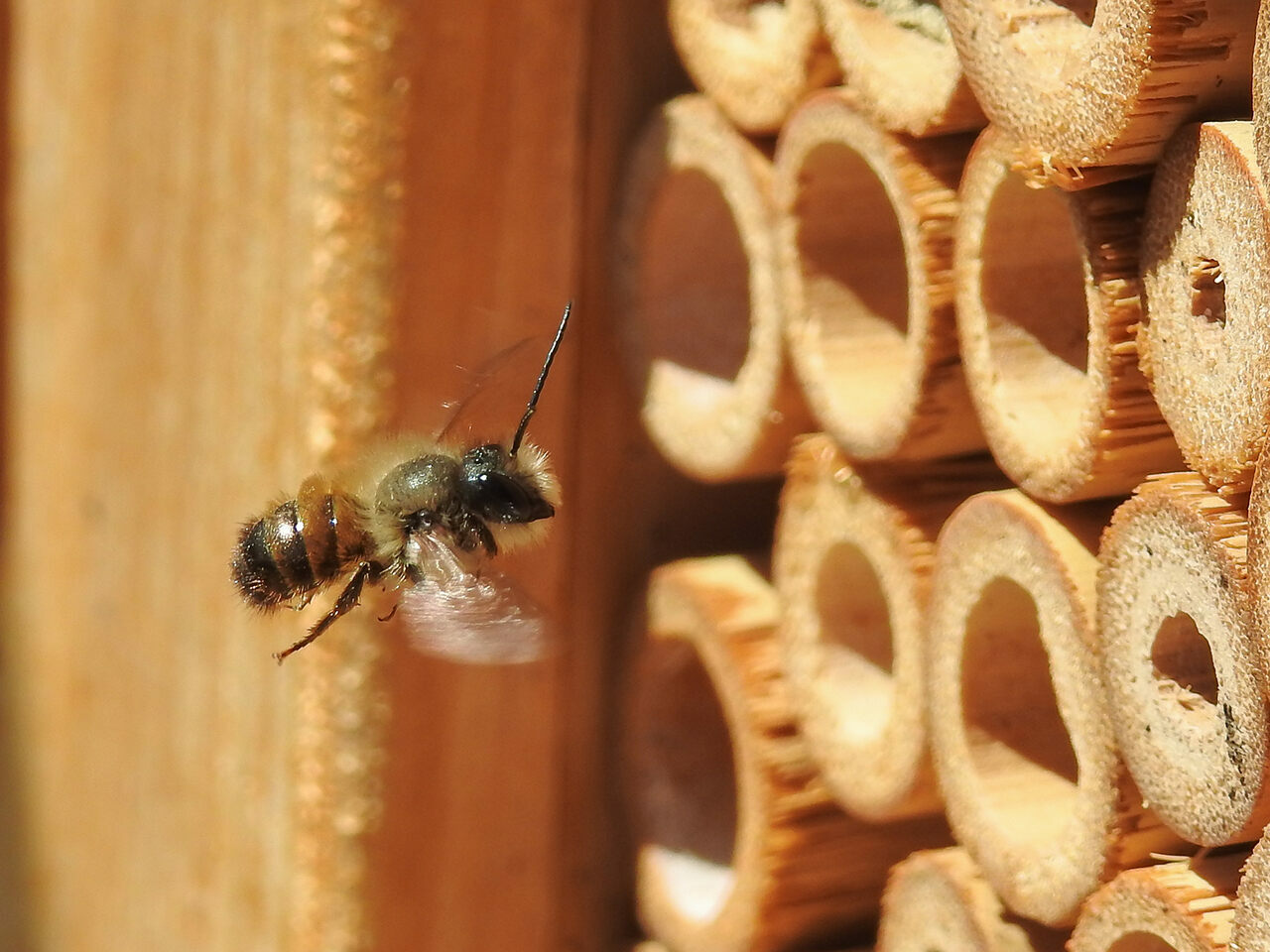 Bee hotels are like birdhouses for bees: Wild bees don't don't live in hives, so they're always in need of a suitable habitat.